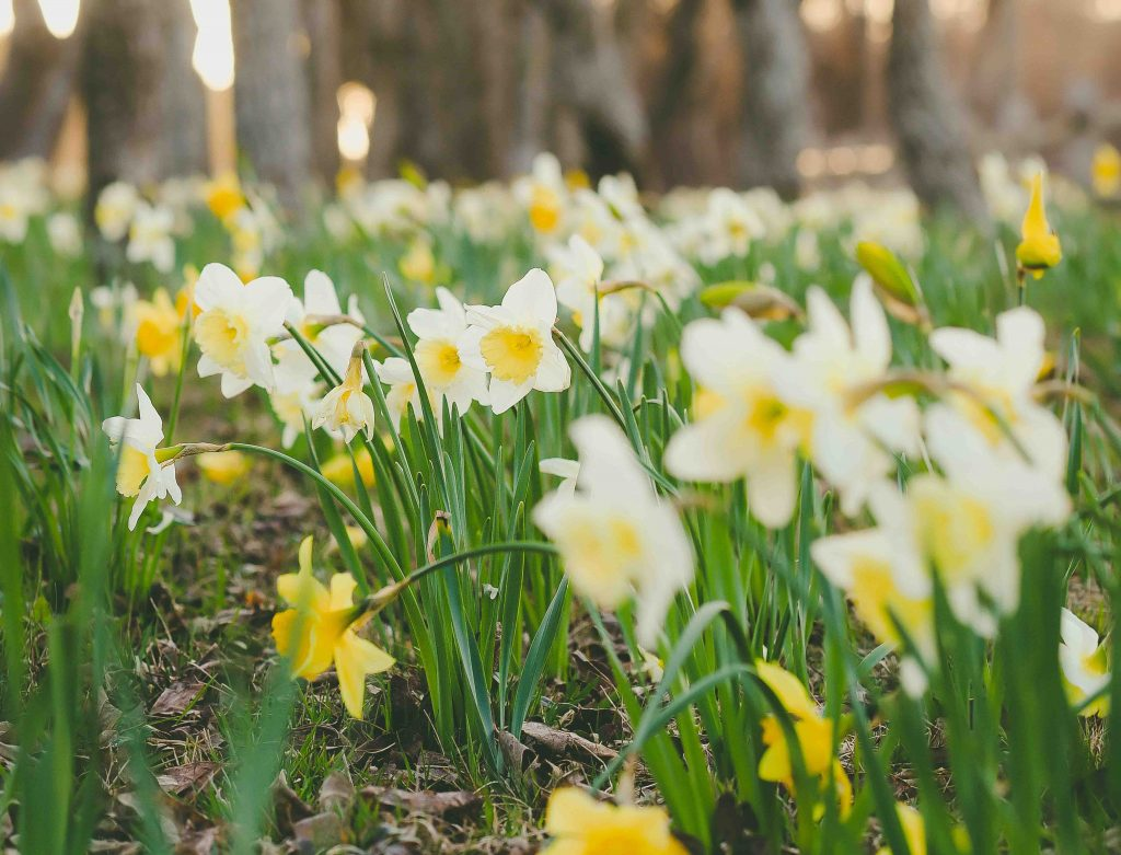 nantucket daffodil
