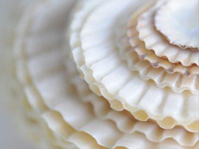 nantucket bay scallop shells