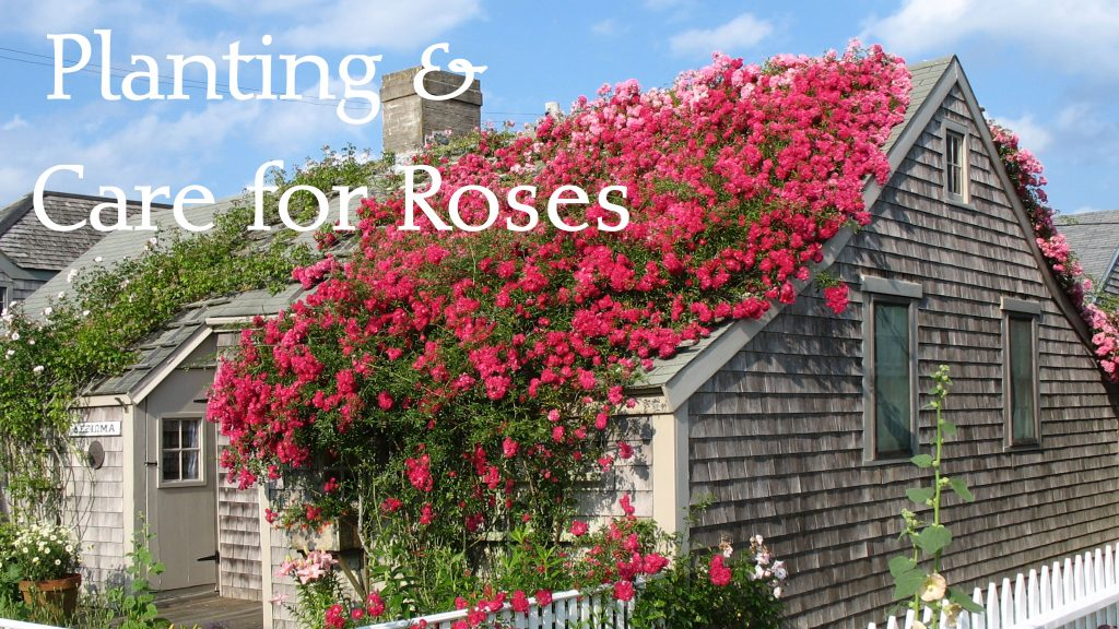 sconset roses planting and care rose covered cottages nantucket
