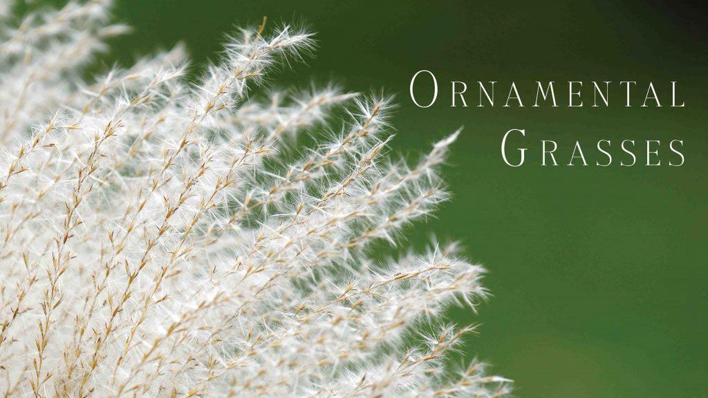 ornamental grasses on nantucket for gardens